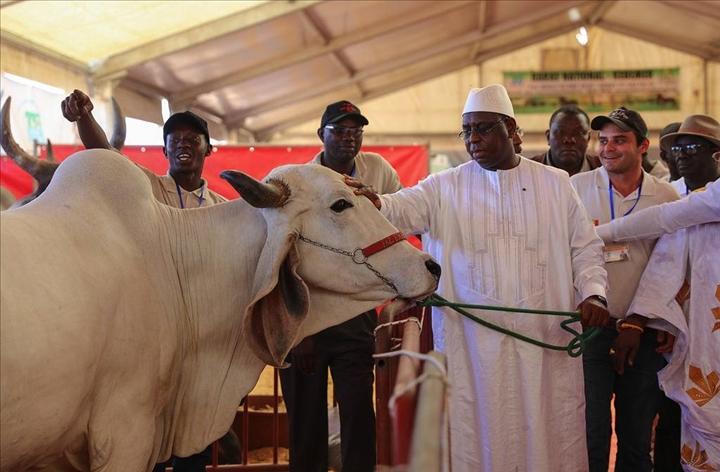 Journée nationale de l'élevage : Macky Sall attendu à Mbacké le 28 novembre prochain