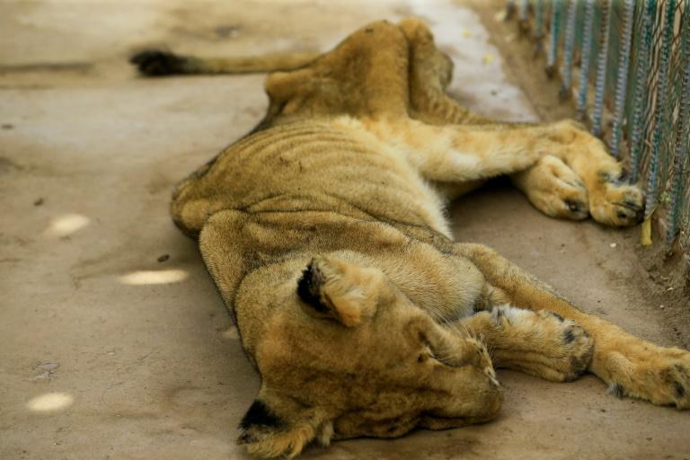 Soudan: l'un des cinq lions mal-nourris meurt dans un parc zoologique