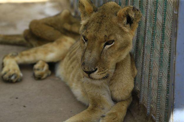Soudan: l'un des cinq lions mal-nourris meurt dans un parc zoologique 1