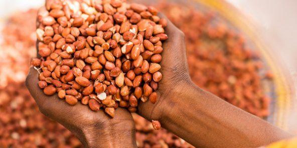 La Sonacos octroie une prime au tonnage pour contrer la concurrence DE Commercialisation de l'arachide