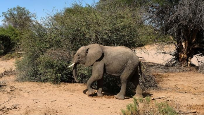 un éléphant en liberté observé pour la première fois depuis des années au Sénégal