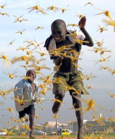 les criquets ravagent l'afrique de l'est 2