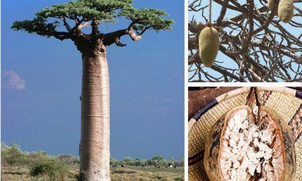 Le fruit du baobab: le pain de singe