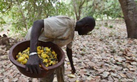 COVID-19: Reprise du marché mondial de la noix de cajou