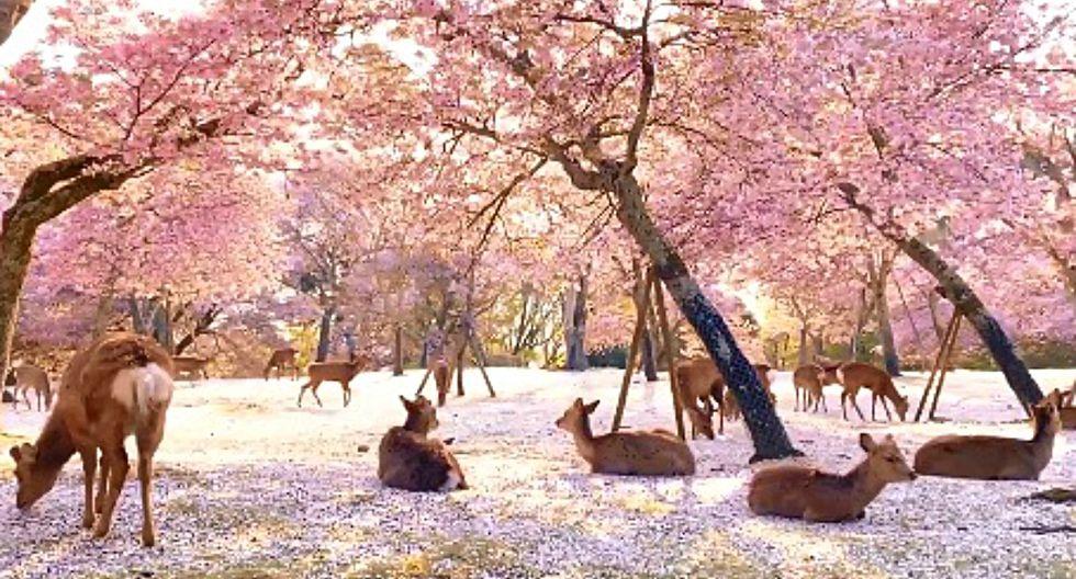 des Cerfs se reposent sous les cerisiers au Japon 1