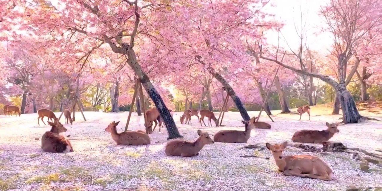 des Cerfs se reposent sous les cerisiers au Japon