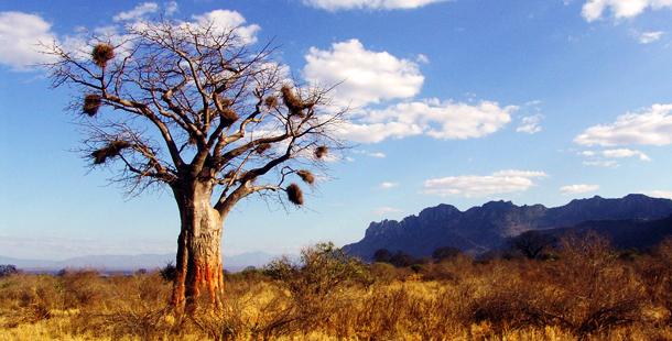 Le fruit du baobab: le pain de singe 1