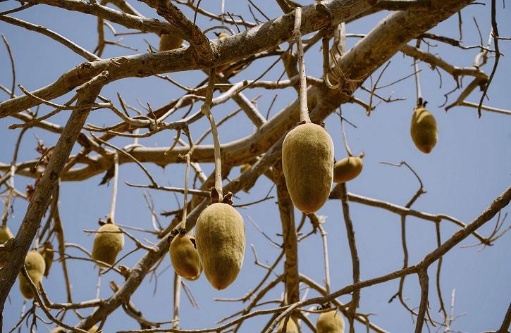 Le fruit du baobab: le pain de singe 2