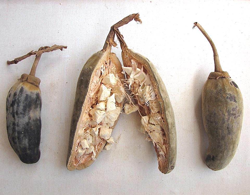 Le fruit du baobab: le pain de singe 5