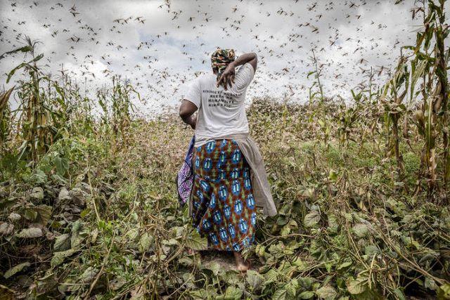 Se préparer à l'invasion : La menace du criquet pèlerin en Afrique de l'Ouest
