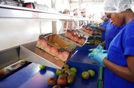Impact du Covid sur la filière mangue : Baisse de 40% des exportations