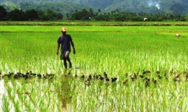 La Banque agricole du Sénégal  dégage près de 5 milliards FCFA pour la filière riz
