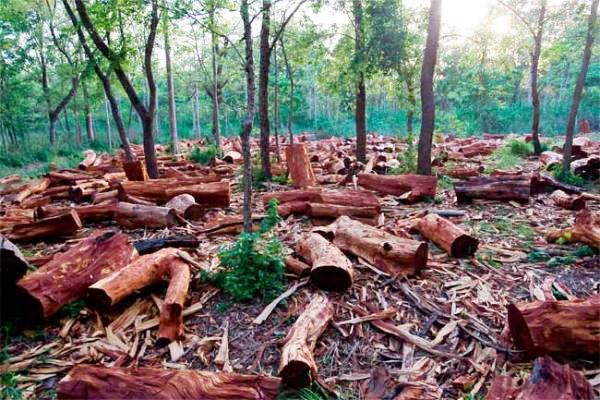 l'exploitation illégale du bois au Sénégal