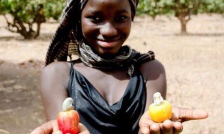 Ethicajou, une entreprise de transformation de cajou à vocation sociale au Sénégal