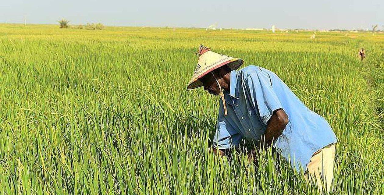 """Moussa Baldé, ministre de l'agriculture : """"Le Sénégal est autosuffisant en matière de riz entier"""""""