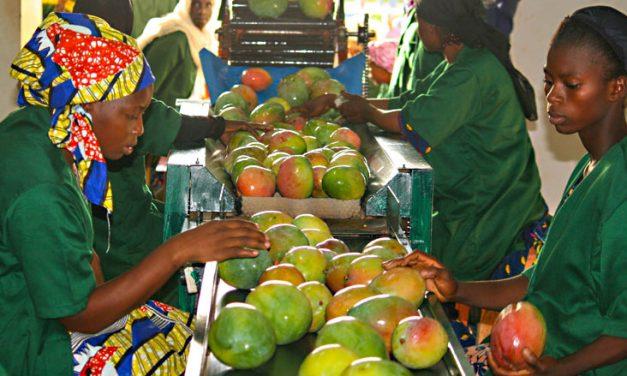 Forte chute des exportations de mangues au Sénégal
