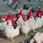 Un plan de relance de l'aviculture se sera proposé au gouvernement