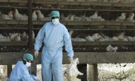 grippe aviaire: La Gambie ferme ses frontières aux poulets du Sénégal