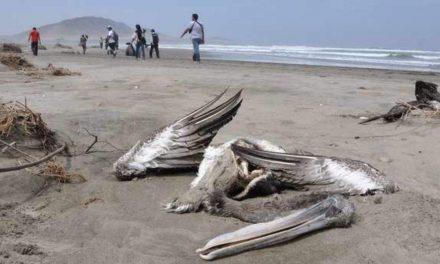 750 pélicans retrouvés morts dans le Parc National des oiseaux du Djoudj