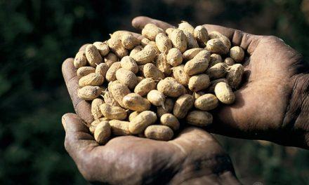 250.000 tonnes de graines d'arachide exportées en Chine en 2019-2020