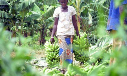 Le Projet d'Autosuffisance du Sénégal EN BANANE, bientôt une réalité