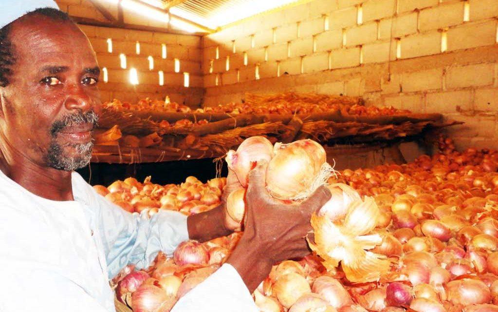 les producteurs d'oignon À GABAR sollicitent l'aide de l'état pour écouler leurs productions