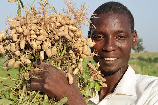 Commercialisation de l'arachide : Les recommandations du Conseil national du crédit